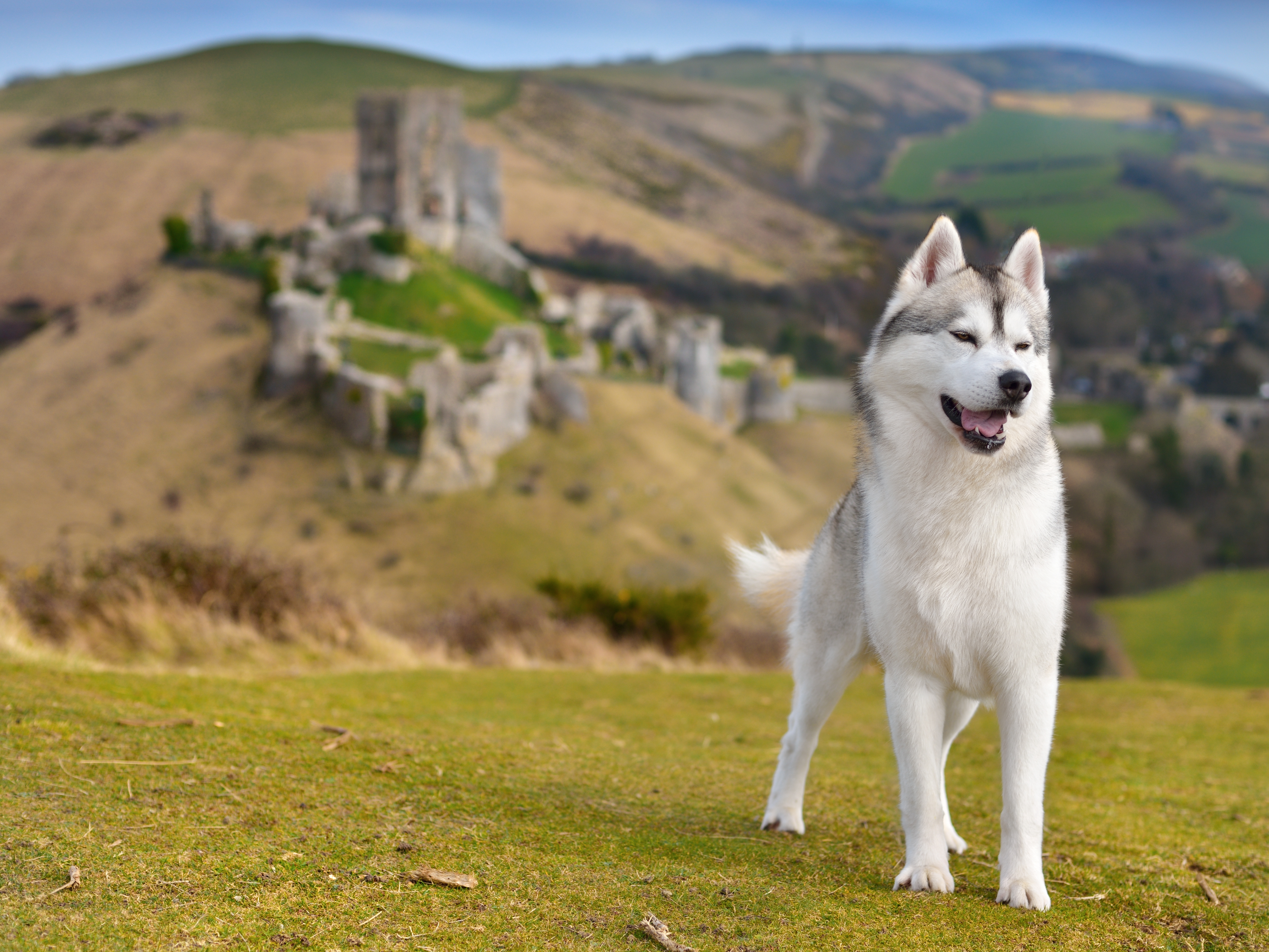 a dog at Corfe Castle